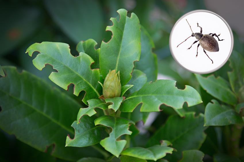 Schadbild durch den Dickmaulrüssler Käfer