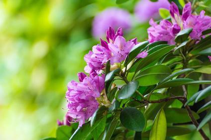 Rhododendron blüht Pflanze